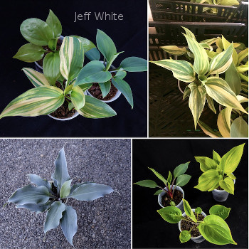 Whites' Start Up Seedling Hybridizing Kit