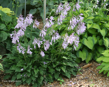 The Hosta Gardening Calendar