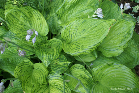 Hosta 'Sum and Substance' infected with Hosta Virus X